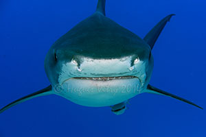 Requin tigre face